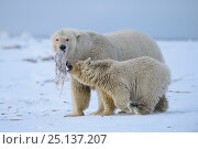 Купить «Polar bear (Ursus maritimus) female and cub feed on frozen whale meat they have discovered, Beaufort Sea, Alaska, USA», фото № 25137207, снято 23 марта 2019 г. (c) Nature Picture Library / Фотобанк Лори