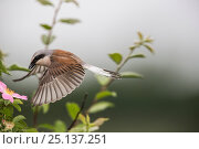 Купить «Red-backed shrike (Lanius collurio) adult male taking off,  Lower Saxony, Germany, June. Sequence 2 of 3», фото № 25137251, снято 26 января 2020 г. (c) Nature Picture Library / Фотобанк Лори