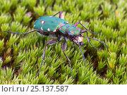 Green Tiger Beetle (Cicindela campestris) Nordtirol, Austrian Alps. June. Стоковое фото, фотограф Alex Hyde / Nature Picture Library / Фотобанк Лори