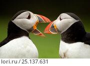 Купить «Atlantic Puffin (Fratercula arctica) pair bill rubbing part of courtship ritual, Skomer Island, Wales, UK, May», фото № 25137631, снято 17 июля 2018 г. (c) Nature Picture Library / Фотобанк Лори