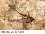 Купить «European Cave Spider (Meta menardi) in limestone cave. Peak District National Park, Derbyshire, UK. January.», фото № 25137663, снято 16 октября 2018 г. (c) Nature Picture Library / Фотобанк Лори