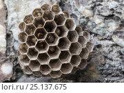 Купить «European Paper Wasp (Polistes gallicus) nest attached to rock face. Nordtirol, Austrian Alps. June.», фото № 25137675, снято 23 апреля 2019 г. (c) Nature Picture Library / Фотобанк Лори