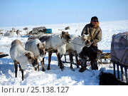 Nenet herder harnessing reindeers (Rangifer tarandus) to sledge for spring migration. Yar-Sale district, Yamal, Northwest Siberia, Russia. April 2016. Стоковое фото, фотограф Eric Baccega / Nature Picture Library / Фотобанк Лори