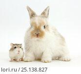 Купить «Young Rabbit with Roborovski hamster», фото № 25138827, снято 19 августа 2018 г. (c) Nature Picture Library / Фотобанк Лори