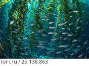 School of Blacksmith fish (Chromis punctipinnis) swim through a giant kelp (Macrocystis pyrifera) forest. Santa Barbara Island, Channel Islands. Los Angeles... Стоковое фото, фотограф Alex Mustard / Nature Picture Library / Фотобанк Лори