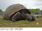 Aldabra Giant Tortoise (Aldabrachelys gigantea) grazing on grass on Grand Terre, Natural World Heritage Site, Aldabra. Стоковое фото, фотограф Willem Kolvoort / Nature Picture Library / Фотобанк Лори