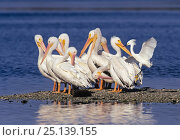 American White Pelican (Pelecanus erythrorhynchos) group preening whilst Snowy Egret (Egretta thula) takes off,  Ding Darling National Wildlife Refuge, Sanibel Island, Florida, USA. Стоковое фото, фотограф George Sanker / Nature Picture Library / Фотобанк Лори