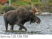 Купить «Bull Moose (Alces alces) wading through water, Baxter State Park, Maine, USA.», фото № 25139159, снято 23 июля 2018 г. (c) Nature Picture Library / Фотобанк Лори