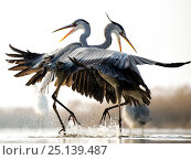 Купить «Grey herons (Ardea cinerea) two fighting, Lake Csaj, Kiskunsagi National Park, Pusztaszer, Hungary.», фото № 25139487, снято 23 октября 2018 г. (c) Nature Picture Library / Фотобанк Лори