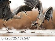 Купить «Grey heron (Ardea cinerea) squabbling, Lake Csaj, Kiskunsagi National Park, Pusztaszer, Hungary. February.», фото № 25139547, снято 22 марта 2018 г. (c) Nature Picture Library / Фотобанк Лори