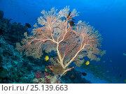 Gorgonian sea fan (Melithaea sp.) with two Golden damsels (Amblyglyphidodon aureus) Similan Islands, Andaman Sea, Thailand. Стоковое фото, фотограф Georgette Douwma / Nature Picture Library / Фотобанк Лори