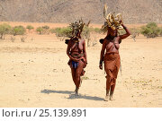 Купить «Himba women carrying wood on their heads during the dry season, Marienfluss Valley, Kaokoland Desert, Namibia. October 2015», фото № 25139891, снято 26 мая 2019 г. (c) Nature Picture Library / Фотобанк Лори