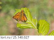 Купить «Male Large skipper (Ochlodes sylvanus) on partially eaten leaf, Brockley Cemetery, Lewisham, London, England, July.», фото № 25140027, снято 16 октября 2019 г. (c) Nature Picture Library / Фотобанк Лори
