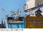 Купить «Kelp gulls (Larus dominicanus) scavenging potato factory waste, Lambert's Bay, Western Cape, South Africa», фото № 25140119, снято 17 июля 2019 г. (c) Nature Picture Library / Фотобанк Лори