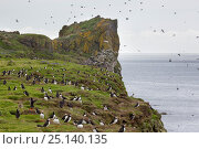 Купить «Atlantic puffins (Fratercula arctica) with sea cliffs in background. Isle of Lunga, Treshnish Isles, Scotland, June.», фото № 25140135, снято 17 июля 2018 г. (c) Nature Picture Library / Фотобанк Лори