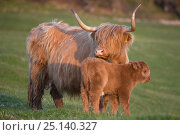 Highland cow with calf, Isle of Mull, Scotland, UK. June. Стоковое фото, фотограф Alex Hyde / Nature Picture Library / Фотобанк Лори