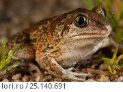 Купить «Common spadefoot toad (Pelobates fuscus) portrait, Alsace, France, June.», фото № 25140691, снято 1 апреля 2020 г. (c) Nature Picture Library / Фотобанк Лори