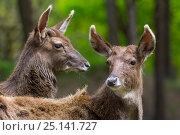 Купить «Two White lipped / Thorold's deer (Cervus albirostris) captive, occur Eastern Tibetan Plateau, China. Vulnerable species.», фото № 25141727, снято 27 мая 2019 г. (c) Nature Picture Library / Фотобанк Лори