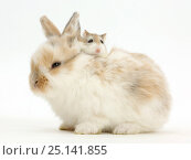 Купить «Young Rabbit with Roborovski hamster riding on back.», фото № 25141855, снято 15 октября 2018 г. (c) Nature Picture Library / Фотобанк Лори