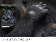 Купить «Western lowland gorilla (Gorilla gorilla gorilla) mother with 45-day twins, captive. Critically Endangered.», фото № 25142027, снято 19 сентября 2019 г. (c) Nature Picture Library / Фотобанк Лори