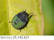 Купить «Common Green shield bug / Green stink bug (Palomena prasina) fourth instar nymph sunning on a leaf, Cornwall, UK, September.», фото № 25142427, снято 7 сентября 2018 г. (c) Nature Picture Library / Фотобанк Лори