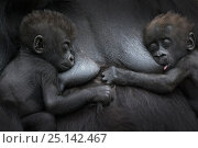 Купить «Western lowland gorilla (Gorilla gorilla gorilla) twin babies age 45 days resting on mother's chest, one suckling. captive, occurs in Central Africa. Critically endangered.», фото № 25142467, снято 19 сентября 2019 г. (c) Nature Picture Library / Фотобанк Лори