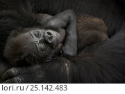 Купить «Western lowland gorilla (Gorilla gorilla gorilla) baby sleeping in mother's arms, captive, occurs in Central Africa. Critically endangered.», фото № 25142483, снято 19 сентября 2019 г. (c) Nature Picture Library / Фотобанк Лори