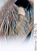 Купить «Grey heron (Ardea cinerea) close up of feathers, Lake Csaj, Kiskunsagi National Park, Pusztaszer, Hungary, February.», фото № 25142775, снято 20 октября 2018 г. (c) Nature Picture Library / Фотобанк Лори