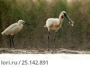Купить «Eurasian spoonbill (Platalea leucorodia) and Little egret (Egretta garzetta) Kiskunsagi National Park, Pusztaszer, Hungary. May.», фото № 25142891, снято 5 июля 2020 г. (c) Nature Picture Library / Фотобанк Лори
