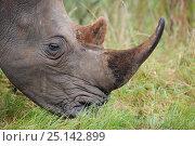 Купить «White rhinoceros (Ceratotherium simum) head profile portrait grazing, iMfolozi National Park, South Africa», фото № 25142899, снято 21 февраля 2019 г. (c) Nature Picture Library / Фотобанк Лори