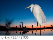 Купить «Great egret (Ardea alba) at twilight, Lake Csaj, Kiskunsagi National Park, Hungary. July.», фото № 25142935, снято 20 октября 2018 г. (c) Nature Picture Library / Фотобанк Лори