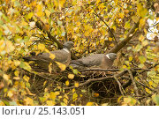 Купить «Wood pigeons (Columba palumbus) swapping incubation duty on nest, Downy birch (Betula pubescens), Herefordshire, England, UK, October.», фото № 25143051, снято 12 декабря 2017 г. (c) Nature Picture Library / Фотобанк Лори