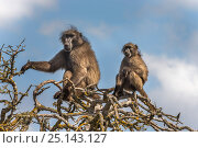 Купить «Chacma baboons (Papio ursinus) sitting in tree, De Hoop Nature Reserve, Western Cape, South Africa», фото № 25143127, снято 21 ноября 2018 г. (c) Nature Picture Library / Фотобанк Лори