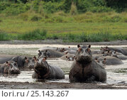 Купить «Hippopotamus (Hippopotamus amphibius) aggressive dominant male with harem, Lake St Lucia Wetlands National Park, South Africa», фото № 25143267, снято 14 февраля 2019 г. (c) Nature Picture Library / Фотобанк Лори