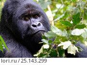 Купить «Portrait of male silverback Mountain gorilla (Gorilla beringei beringei) Virunga National Park, Democratic Republic of Congo.», фото № 25143299, снято 25 марта 2019 г. (c) Nature Picture Library / Фотобанк Лори