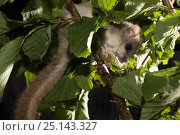 Купить «Fat / Edible dormouse (Glis glis) feeding, on hazel branch, Captive, occurs in Europe, August.», фото № 25143327, снято 3 апреля 2020 г. (c) Nature Picture Library / Фотобанк Лори