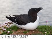 Купить «Razorbill (Alca torda) Isle of Lunga, Treshnish Isles, Scotland, June.», фото № 25143627, снято 17 июля 2018 г. (c) Nature Picture Library / Фотобанк Лори