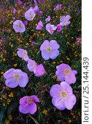Купить «Pink evening primrose (Oenothera speciosa) Laredo Borderlands, Texas, USA. April», фото № 25144439, снято 23 июля 2018 г. (c) Nature Picture Library / Фотобанк Лори