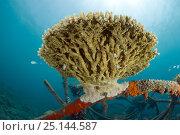 Купить «hard coral on structure of bio-rock, method of enhancing the growth of corals and aquatic organisms, in Taman Sari Bali Cottages, Karang Lestari Pemuteran...», фото № 25144587, снято 25 сентября 2018 г. (c) Nature Picture Library / Фотобанк Лори