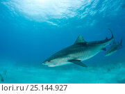 Купить «Tiger shark (Galeocerdo cuvier) Northern Bahamas, Caribbean Sea, Atlantic Ocean», фото № 25144927, снято 26 марта 2019 г. (c) Nature Picture Library / Фотобанк Лори