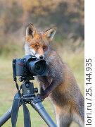 Купить «Red fox (Vulpes vulpes) investigating camera, Amsterdamse Waterleidingduinen, near Zandvoort, The Netherlands, November.», фото № 25144935, снято 18 апреля 2019 г. (c) Nature Picture Library / Фотобанк Лори