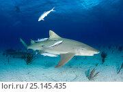 Купить «Lemon shark (Negaprion brevirostris) with accompanying Remora or suckerfish, Northern Bahamas, Caribbean Sea, Atlantic Ocean», фото № 25145435, снято 26 марта 2019 г. (c) Nature Picture Library / Фотобанк Лори