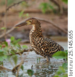 Купить «Rufescent tiger heron (Tigrisoma lineatum) juvenile standing in wetlands, Pantanal, Brazil», фото № 25145655, снято 17 июня 2019 г. (c) Nature Picture Library / Фотобанк Лори