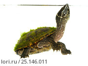 Купить «Common musk turtle (Sternotherus odoratus) Oxford, Mississippi, USA. April. Meetyourneighbours.net project», фото № 25146011, снято 19 июля 2018 г. (c) Nature Picture Library / Фотобанк Лори