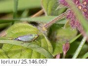 Купить «Green leaf-hopper (Cicadella viridis) in marshy grassland, Cornwall, UK, September.», фото № 25146067, снято 31 марта 2020 г. (c) Nature Picture Library / Фотобанк Лори