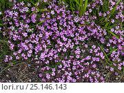 Купить «Rock soapwort (Saponaria ocymoides) Vercors Regional Natural Park, France, June.», фото № 25146143, снято 24 апреля 2018 г. (c) Nature Picture Library / Фотобанк Лори
