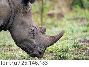 Купить «White rhinoceros (Ceratotherium simum) grazing, iMfolozi National Park, South Africa», фото № 25146183, снято 21 февраля 2019 г. (c) Nature Picture Library / Фотобанк Лори