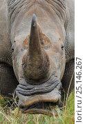Купить «White rhinoceros (Ceratotherium simum) feeding, iMfolozi National Park, South Africa», фото № 25146267, снято 15 февраля 2019 г. (c) Nature Picture Library / Фотобанк Лори