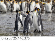Купить «Four King penguins (Aptenodytes patagonicus) squabbling during courtship, Gold Harbour, South Georgia, South Atlantic, January.», фото № 25146375, снято 18 сентября 2019 г. (c) Nature Picture Library / Фотобанк Лори