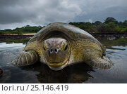 Green Turtle (Chelonia mydas) returning to sea, Bissagos Islands,... Стоковое фото, фотограф Pedro Narra / Nature Picture Library / Фотобанк Лори